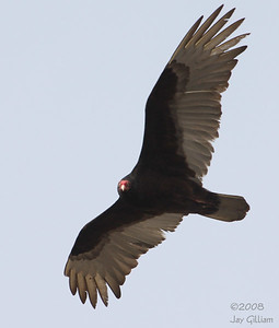 Turkey Vulture checking me out, on Saylorville Dam, Polk Co.  04-16-08