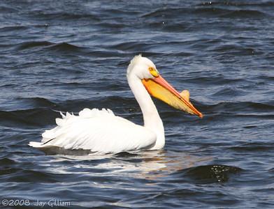 American White Pelican at Pine Lake SP, Hardin Co. 04-13-08