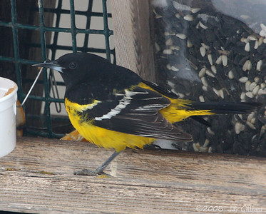 First state record Scott's Oriole at feeder in Emmet Co.  04-12-08
