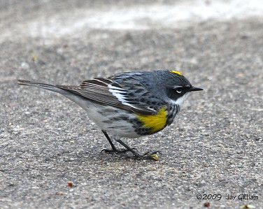 There were Yellow-rumped Warbler flocks all over the roads today.  This one was at Oak Grove Beach road, Saylorville Lake, Polk Co.  04-25-09