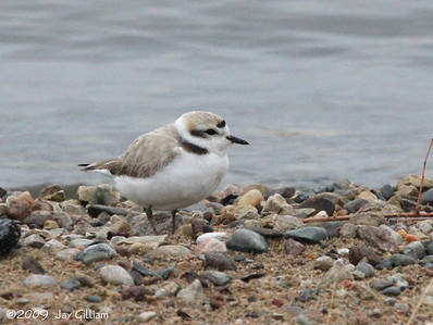 Snowy Plover at Cherry Glen Beach, Saylorville Lake, Polk Co.  04-25-09