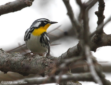 Yellow-throated Warbler at Walnut Woods SP, Polk Co.  04-18-09