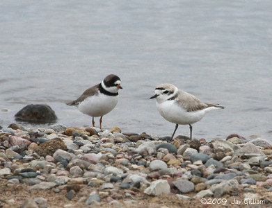 Snowy and Semipalmated Plovers at Cherry Glen Beach, Saylorville Lake, Polk Co.  04-25-09