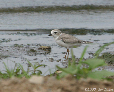 Piping Plover at Sandpiper Beach, Saylorville Lake  19 August