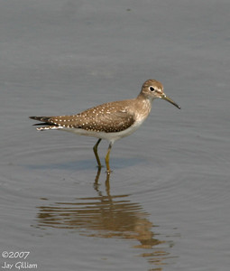 Solitary Sandpiper at Bay's Branch, Guthrie Co.  18 August