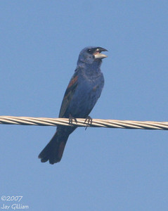 Blue Grosbeak in Mills Co.  12 August