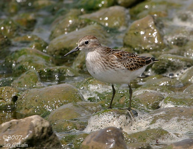 Least Sandpiper at Sandpiper Beach, Saylorville Lake  19 August