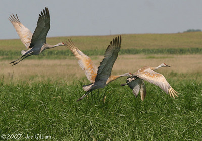 Sandhill Cranes at Dunbar Slough, Greene Co.  12 August
