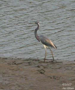 Tricolored Heron at Shenandoah pits  04 August