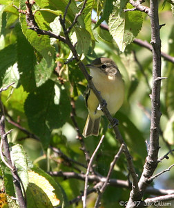 Bell's Vireo at Big Creek  26 August
