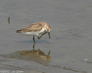 Semipalmated Sandpiper at Bay's Branch, Guthrie Co.  18 August