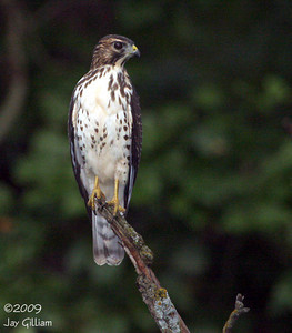 Juvenile Broad-winged Hawk at Walnut Woods SP, Polk Co.  08-13-09