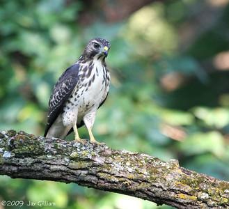 Juvenile Broad-winged Hawk at Walnut Woods SP, Polk Co.  08-16-09