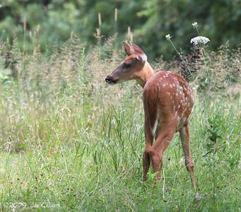 Young Whitetail Deer at Maffitt Reservoir, Polk Co.  08-04-09