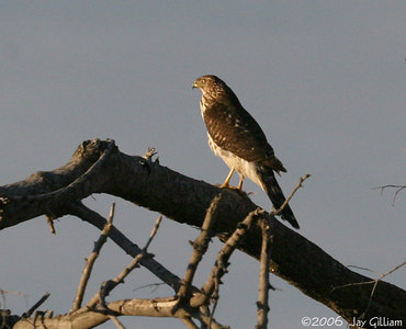 Cooper's Hawk on Greene Co. CBC
