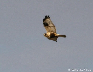 Rough-legged Hawk on Greene Co. CBC