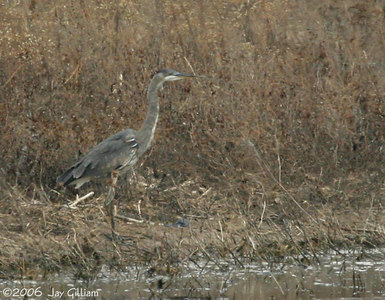 Great Blue Heron on Red Rock CBC