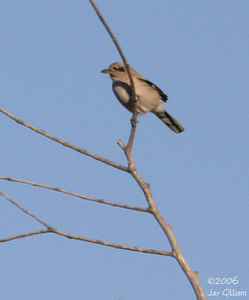 Northern Shrike at Big Creek Lake