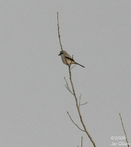 Northern Shrike at Camp Dodge on Saylorville CBC