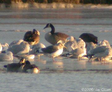 Slaty-backed Gull at Black Dog Lake, MN