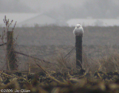 Snowy Owl in Story Co.