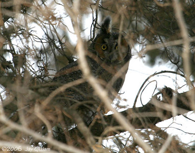 Long-eared Owl at Camp Dodge on Saylorville CBC