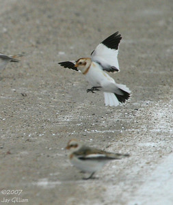 Snow Buntings in northern Polk Co.  12/8/07