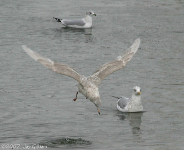 Glaucous Gull diving for a fish  12/8/07