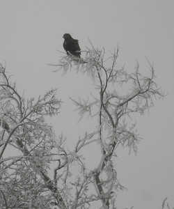 Dark-morph Rough-legged Hawk on Red Rock CBC  12/15/07