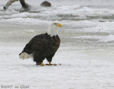 Bald Eagle at Fort Madison  12/24/07