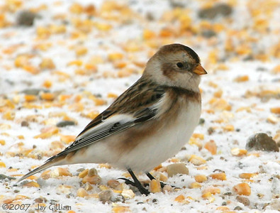Snow Bunting in Dallas Co.  12/9/07