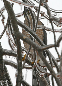 Cooper's Hawk in my backyard  12/11/07