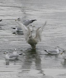 Juvenile Iceland Gull on the DSM River  12/8/07