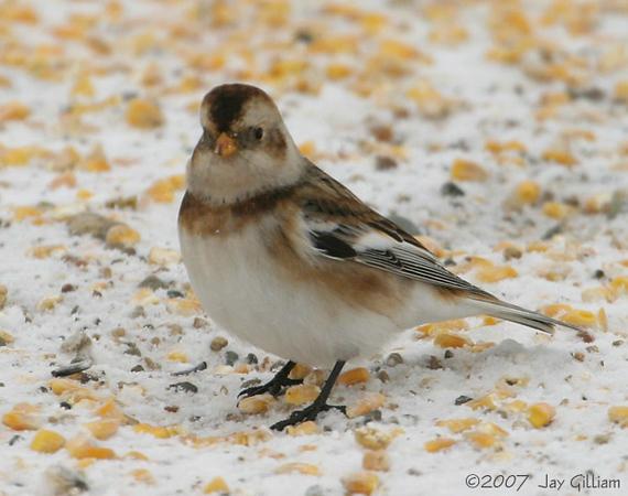 Snow Bunting in Dallas Co.  12/9/07