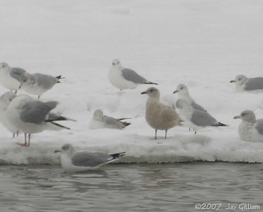 Juvenile Iceland Gull from DSM River, on Red Rock CBC  12/15/07