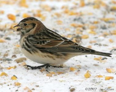 Lapland Longspur in Dallas Co.  12/9/07