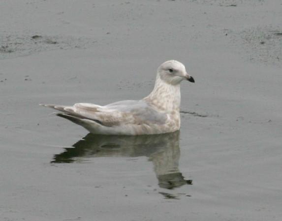 Iceland/Thayer's-type Gull on DSM River  12/8/07