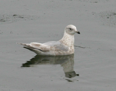 Iceland/Thayer's-type Gull on DSM River  12/8/07