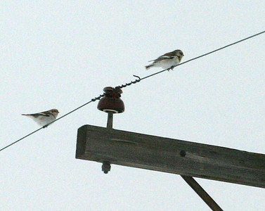 Strange sighting...the entire flock of 55 Snow Buntings flew up and landed on the wires.  Two were remaining by the time I got up to them.  12/8/07
