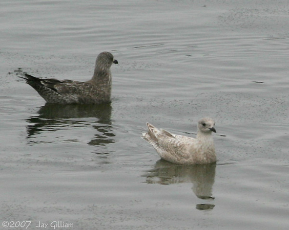 Juvenile Iceland Gull on the DSM River  12/8/07