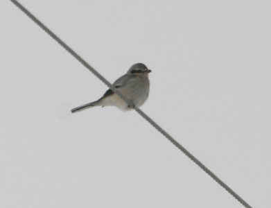 Northern Shrike on Red Rock CBC  12/15/07