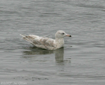 Glaucous Gull (2nd yr) on DSM River  12/8/07
