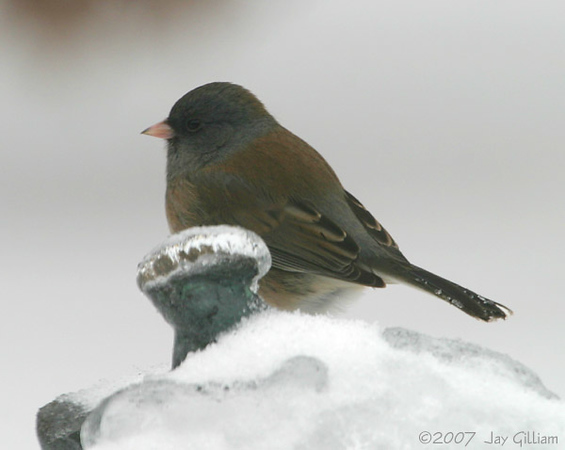 Oregon Junco in my backyard  12/11/07
