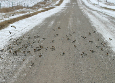 A different large flock of Snow Buntings I saw in northern Polk Co.  12/8/07