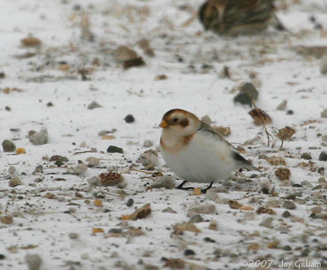 Snow Bunting in northern Polk Co.  12/8/07