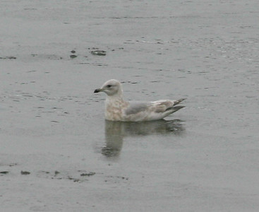 Not sure what gull this is.  It has both Iceland (Kumlien's) and Thayer's Gull characteristics.  12/8/07