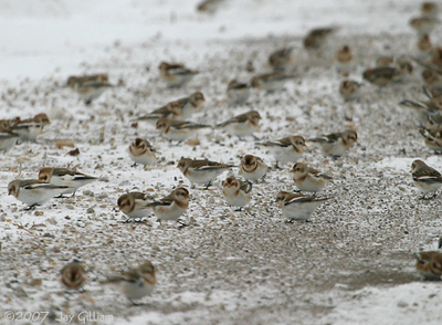 One of several large flocks of Snow Buntings I saw in northern Polk Co.  12/8/07