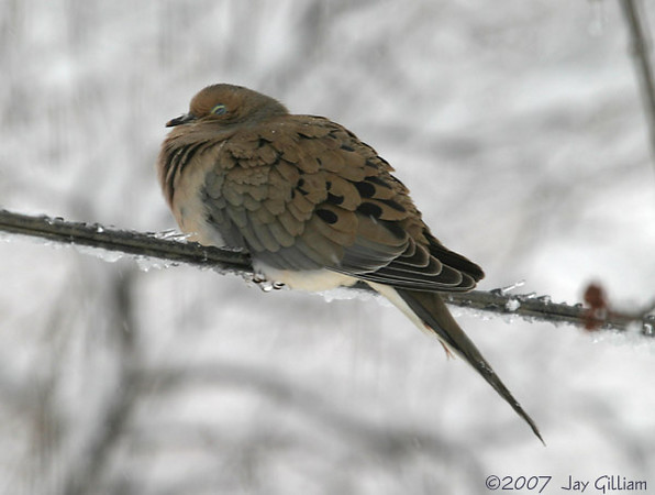 Cold Mourning Dove in my backyard