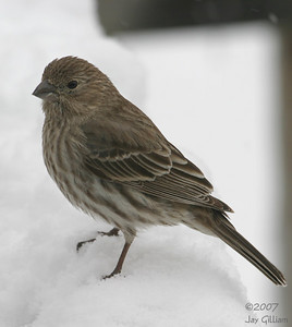 House Finch in my backyard