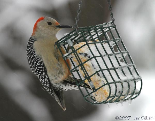 Red-bellied Woodpecker in my backyard